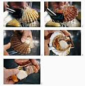 Cleaning and shucking scallops