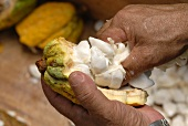 Opening a cacao fruit
