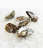 Geöffnete Austern auf Crushed Ice