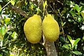 Ripe jackfruit on the tree (Thailand)