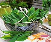 Freshly picked ramsons leaves (wild garlic) in a wire basket