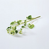 Common scurvy grass with flowers (Cochlearia officinalis)