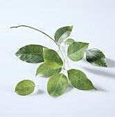 Camphor leaves