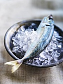 A mackerel in a dish of ice