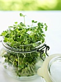 Radish sprouts in a preserving jar
