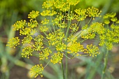 Dill flowers (close-up)