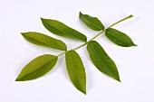 Fresh walnut leaf