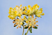 Kidney vetch flowers (Anthyllis vulneraria)