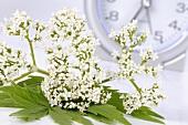 Valerian flowers (Valeriana officinalis)