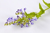 Skullcap (Scutellaria barbata, also called Ban zhi lian)