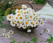 Freshly picked ox-eye daisies in a basket
