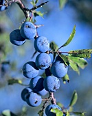 Sloes on the branch