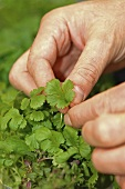 Picking the leaves off coriander