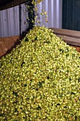 Hops drying in an oast house
