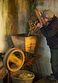 Arbeiter füllt Mostäpfel in Holzpresse