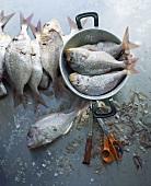 Scaled sea bream