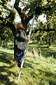 Man climbing a ladder to pick apples
