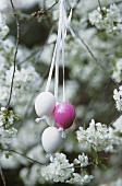 Easter eggs hanging in a flowering fruit tree