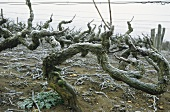 Vines in winter (Burgundy)