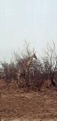 A giraffe behind a bush