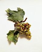Kerner grapes and vine leaves
