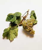 Riesling grapes and vine leaves