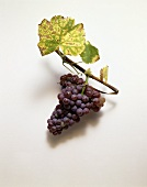 Traminer grapes and vine leaves