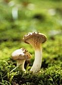 King oyster mushrooms