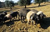 Cinta Senese pigs (Tuscany, Italy)