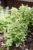 A bed of herbs with parsley and basil