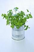 Fresh parsley in a tin