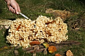 Cauliflower mushrooms growing between tree stumps in a forest
