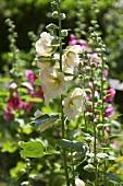 Hollyhocks in a garden