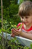 A little girl looking at a tomato plant in a raised bed