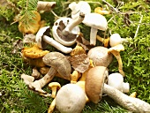 Boring brown bolete mushrooms, field mushrooms, chanterelle mushrooms and birch bolete mushrooms on moss
