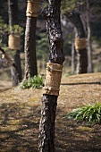 Pine trees with insect protection