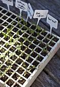 Vegetable and lettuce seedlings
