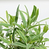 Sage (Salvia leucantha)
