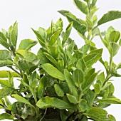 Sage (Salvia dolomitica)