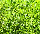 Pea plants (full-frame)