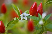 Piri-piri plant (close-up)
