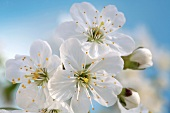 Cherry blossom against a blue background