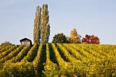 Vineyard, Château Vufflens, Morges, Vaud, Switzerland