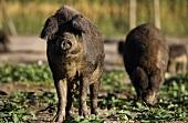 Mangalitza pigs in a wood
