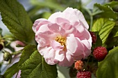 Raspberries on the bush and wild roses
