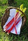 Freshly picked rhubarb in a basket