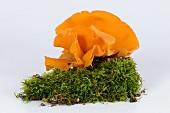 Orange peel fungus (Aleuria aurantia)