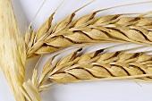 Two-rowed barley (Hordeum distichon ssp. distichon)