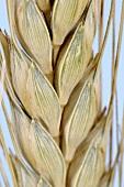 Khorasan wheat (Triticum turanicum)