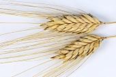 Domesticated hulled wheat (Triticum timopheevii var. timopheevii)